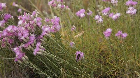 Butterfly spreads its wings sitting on a purple flower on... Stock Video Footage