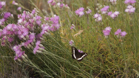 Butterfly spreads its wings sitting on a purple flower on a clearing Slow motion Live Action