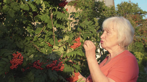 Senior gardener woman taste red red rowan berries in summer garden Footage