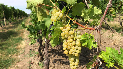 White ripe grape against dark berries windswept at vineyard Footage