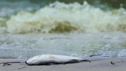 Poisoned fish on contaminated toxic seashore, man-made disaster, industrial area Footage
