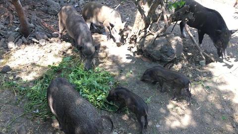 These wild boar in garden Footage