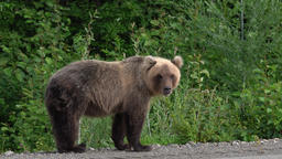 Hungry Kamchatka brown bear on roadside Footage
