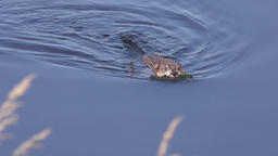Muskrat (Ondatra zibethicus) swimming in a lake Footage