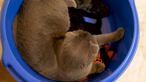 Funny cat video - scotish fold kitten in blue bowl with washed clothes playing Archivo