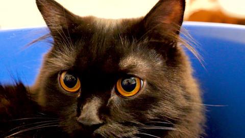 Portrait of beautiful black norwegian forest cat in blue bowl GIF