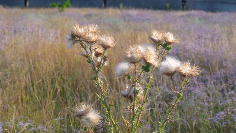 Wild plants at sunset in a meadow Live Action