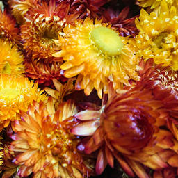 Colourful Dried Flowers フォト