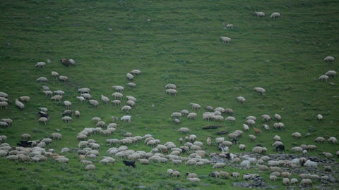 Sheep graze on a green slope high in the mountains Archivo