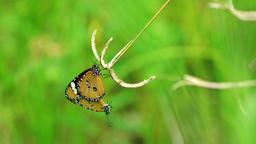 Butterflies mating atop a tall grass Footage