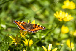 Close-up of Aglais urticate, small totoiseshell,sitting on buttercup Fotografía