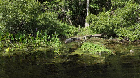 American Alligator At Edward Ball Wakulla Springs State Park US Archivo