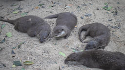 Group of otter resting on ground ビデオ