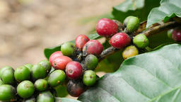 Arabica coffee beans coffee-plantation at north, Thailand Footage