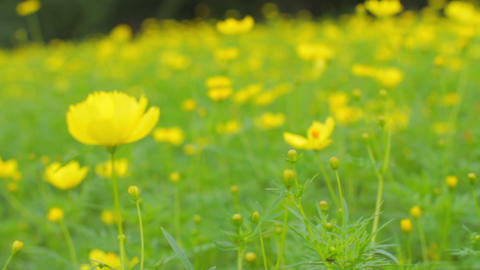 Yellow cosmos field in thel park medium shot handheld Live Action