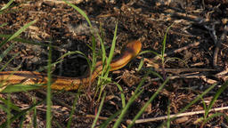 Yellow Rat Snake slithers in wetlands Footage