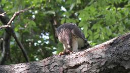 Coopers hawk feeding on chipmunk Footage