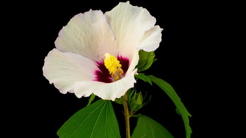White Hibiscus Flower Blooming ビデオ