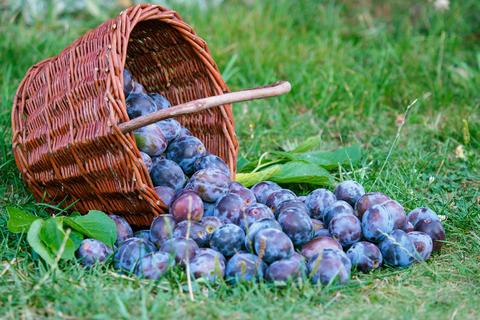 Plum harvest. Plums in a wicker basket on the grass Fotografía