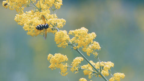 Bee pollinates yellow flower Footage