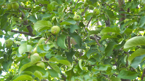 Green apples on branches of Apple trees Archivo