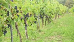 Panorama Of The Vineyard stock footage