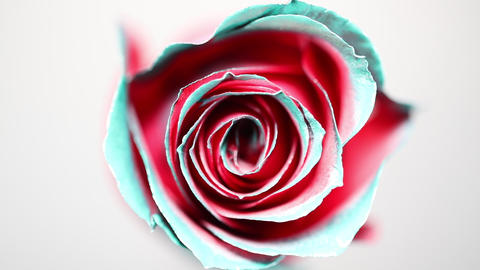 Slowly revolving colourful rose flower Footage
