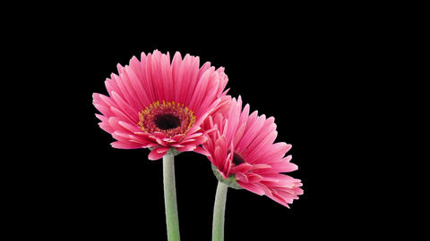Time-lapse of growing and opening pink gerbera flower in RGB + ALPHA matte forma 이미지