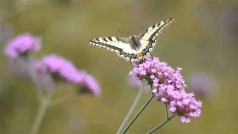 Butterfly on Verbena Bonariensis flowers, close up Footage