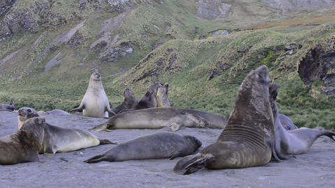 Elephant Seal fight Footage