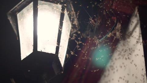 Spider on the net hunts flies Footage