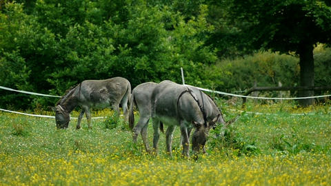 Donkeys in the meadow Live Action