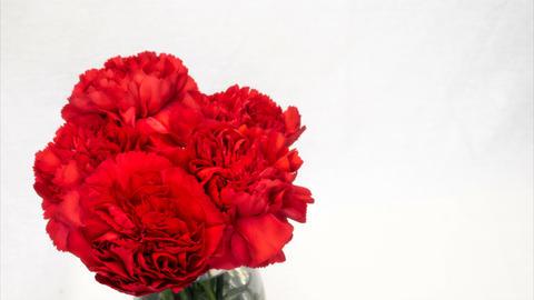 母の日の花カーネーションの開花(タイムラプス) ビデオ