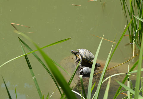Two turtles mother and cub sitting on the shore of the pond Fotografía