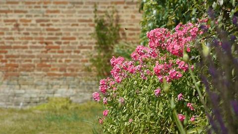 Pink phlox at an old walled botanical garden Footage