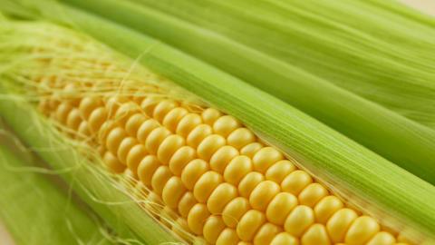 Grains of ripe yellow fresh corn on cobs GIF