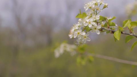 Primula Background 영상물