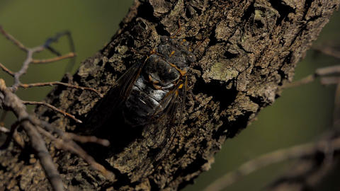 Cicada on the tree 4 Live Action