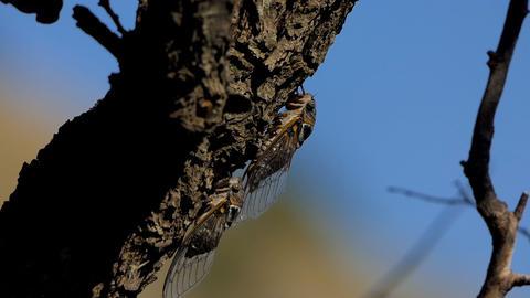 Cicada on the tree 1 Footage