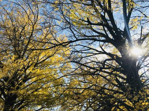 Amazing scene of shape and form of ginkgo trees canopy Fotografía