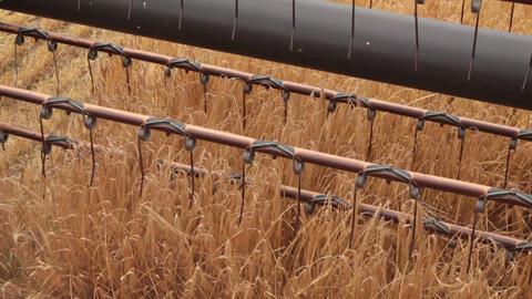 Combine harvester gathers the wheat crop ビデオ