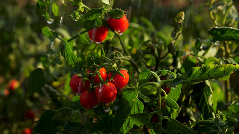 Fresh cherry tomatoes on a bush in the rain against the background of juicy Live Action