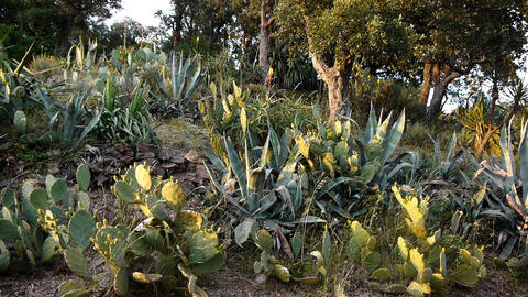Flowering aloe vera, succulents and cacti in south France Live Action