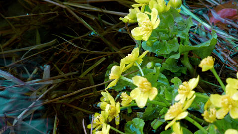 Yellow flowers growing on the water Footage
