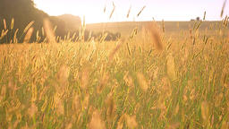 Sunshines tenderly shows on the grain field with yellow tones and beautiful Footage
