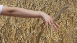Woman's Hand Through a Wheat Field Footage