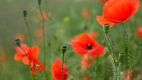 Red poppies field. Poppy flowers field. Poppy flowers swaying, fluttering in the Live Action