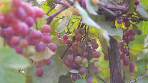 Plantation of the vineyard Archivo
