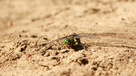 Dragonfly sits on the sand Footage