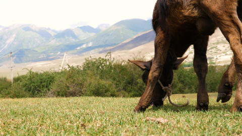 Brown calf eating green grass on summer fields at mountain landscape GIF
